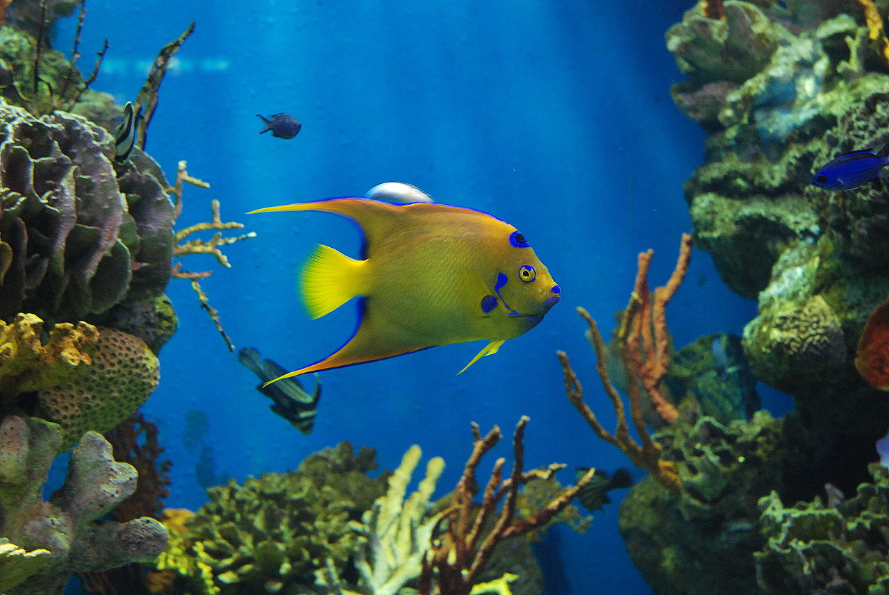 Аквариум Барселоны, рыба Голубой ангел
