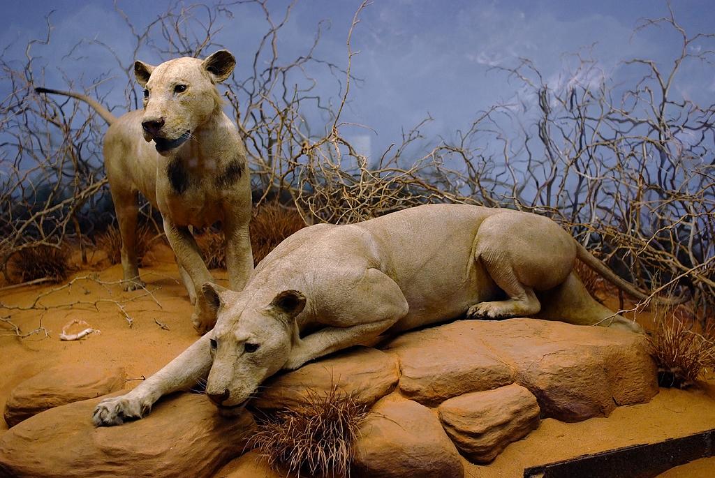 Филдовский музей естественной истории, безгривые львы-людоеды из Цаво