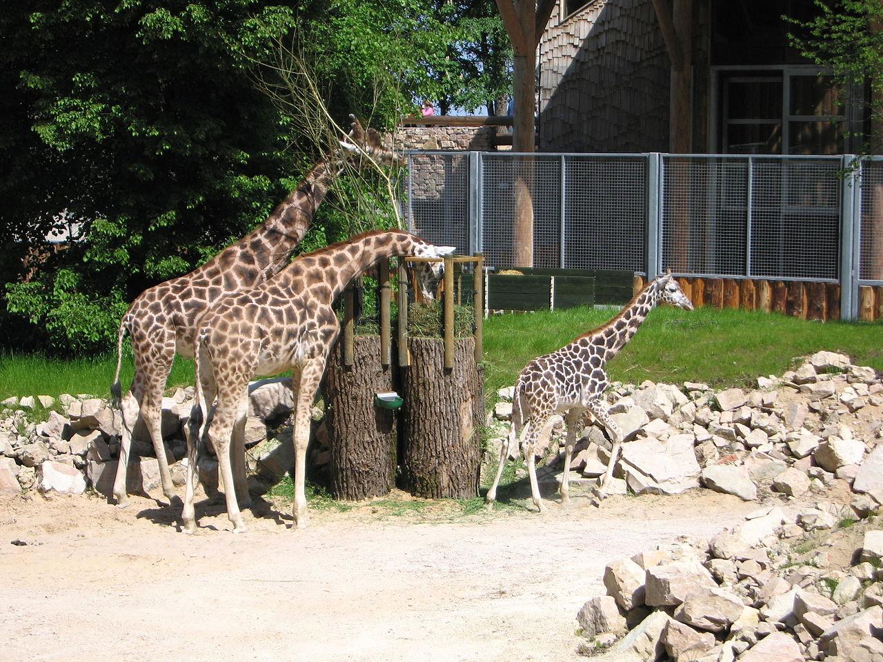 Рижский зоопарк, жирафы