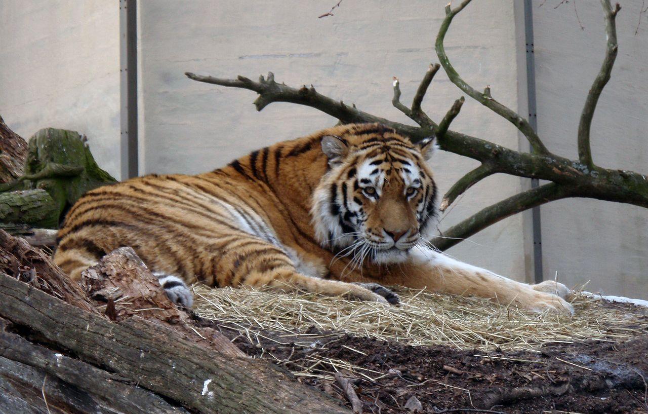 Зоопарк в Хельсинки, амурский тигр