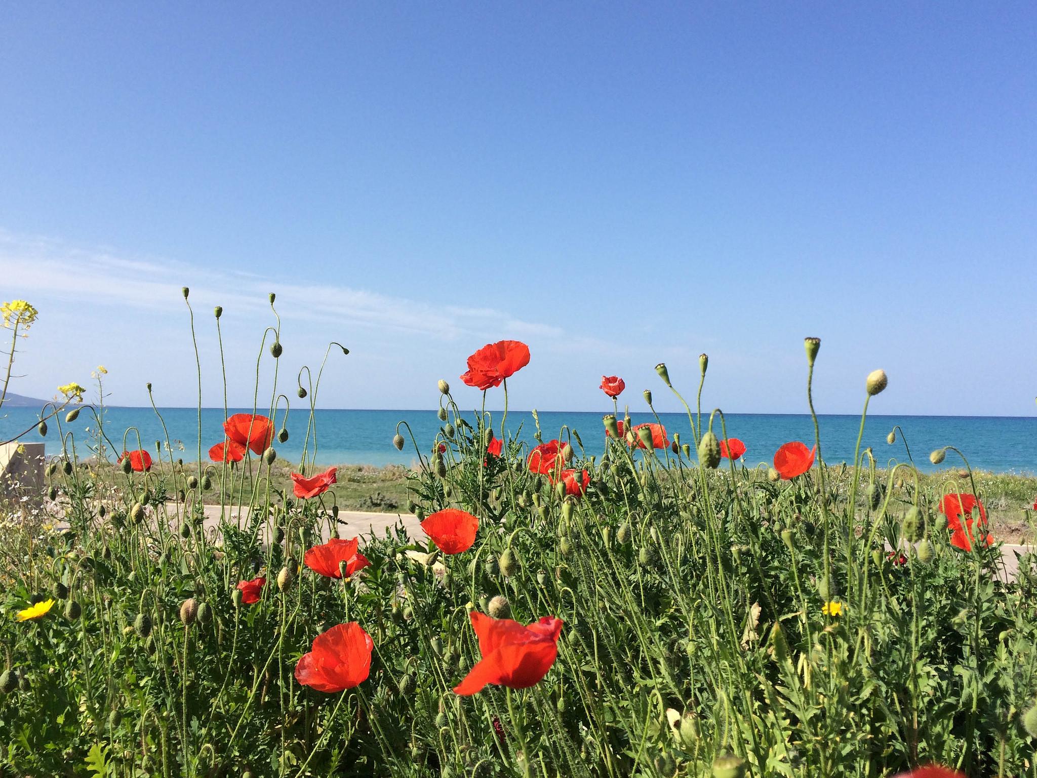 Маки рядом с пляжем Лачи на Кипре