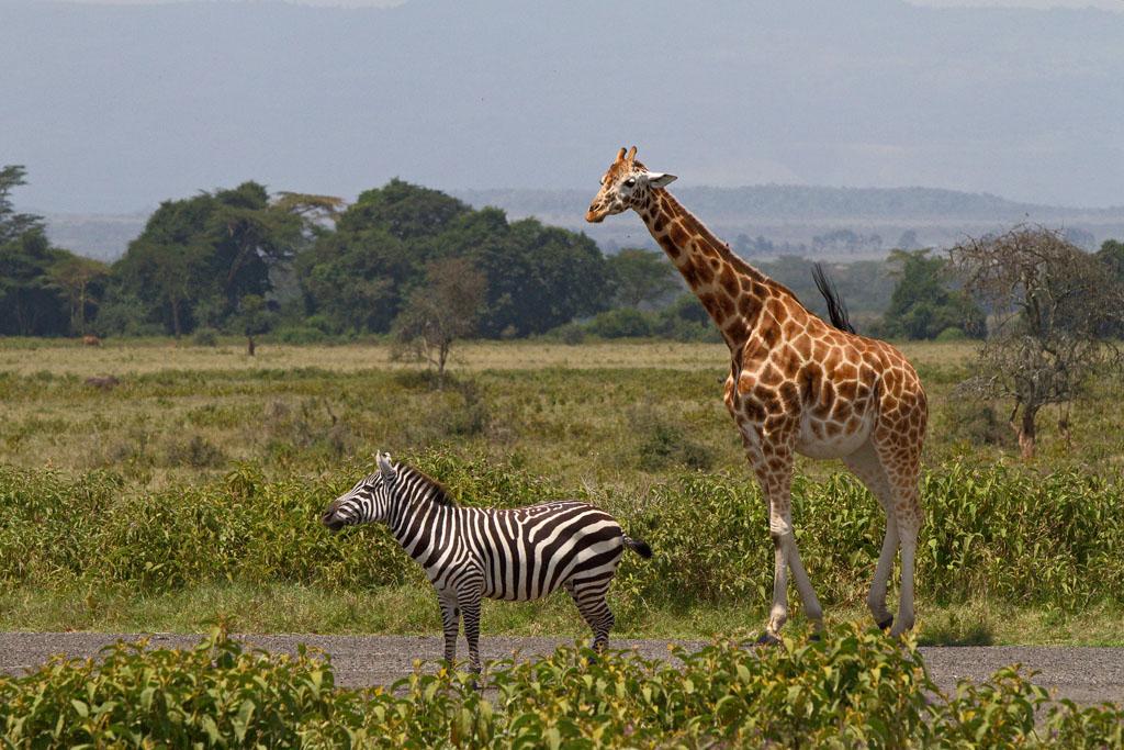 Картинки жирафов и зебр