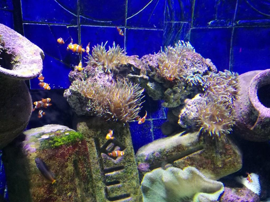 Рыбки-клоуны в океанариуме в Дубае, ОАЭ