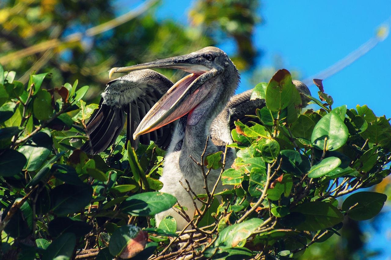 Национальный парк Лос-Айтисес, пеликан на гнезде.