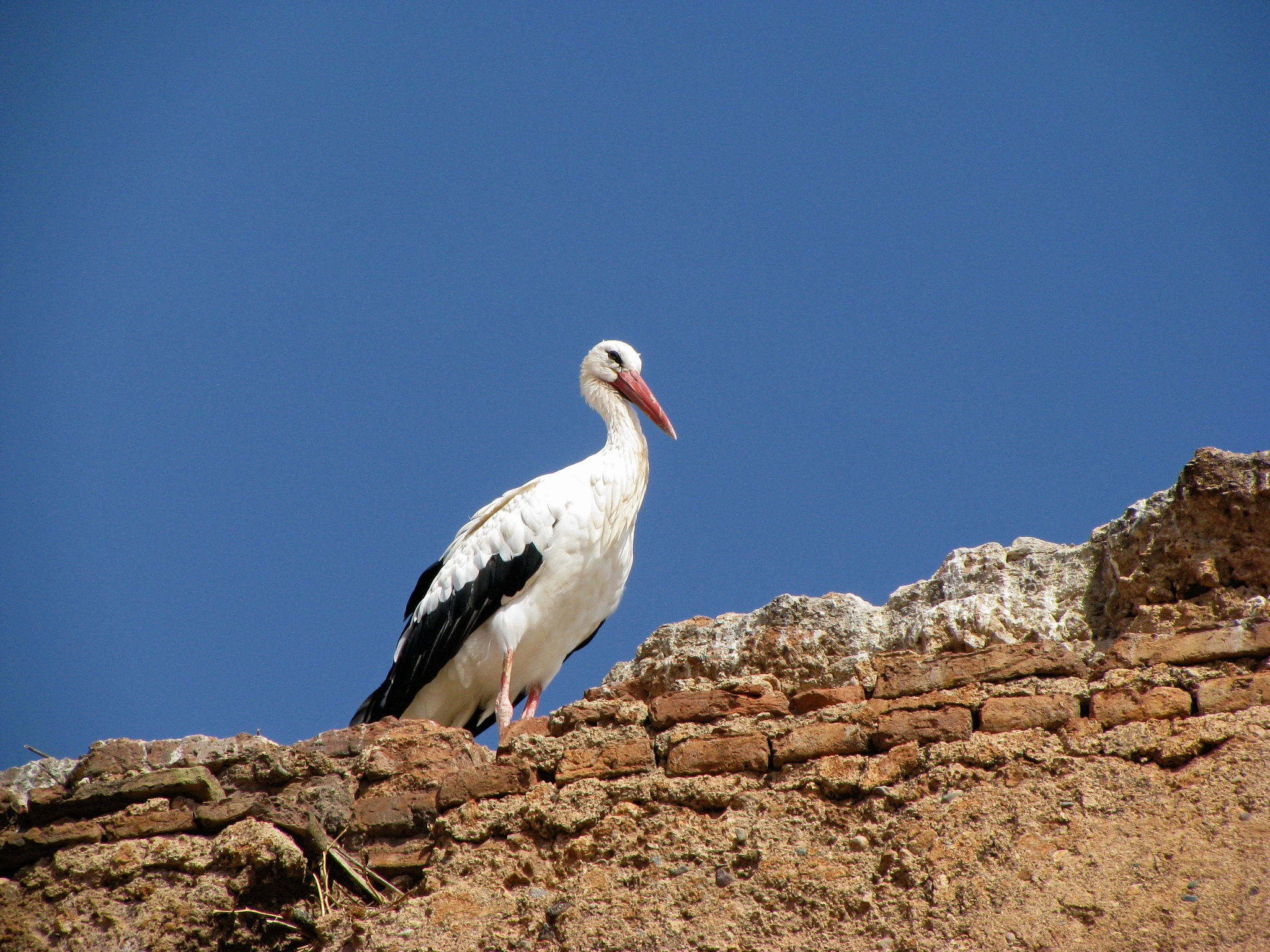 Аист на стене дворца Эль-Бади