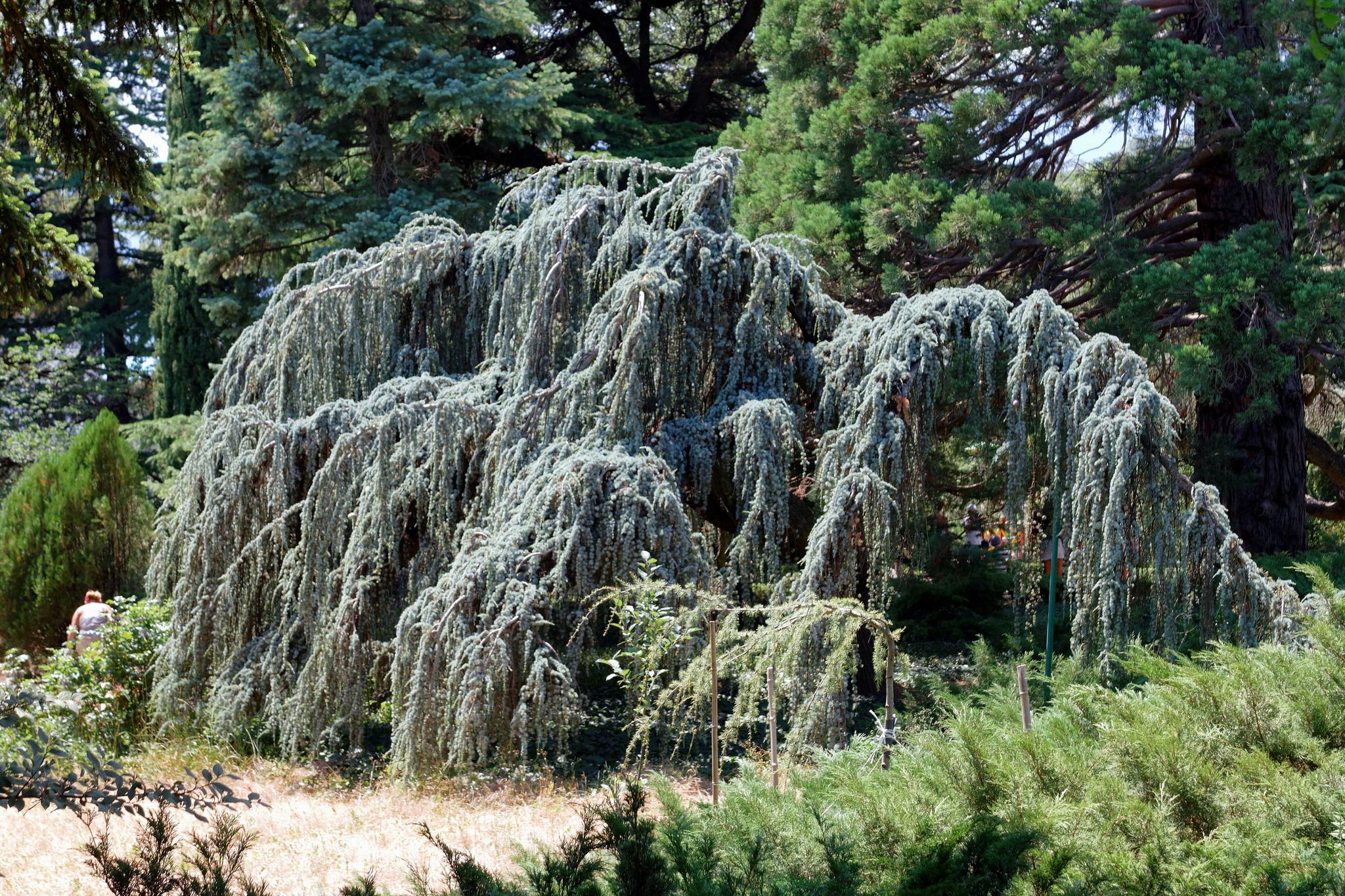 Дерево в Никитском ботаническом саду, Ялта