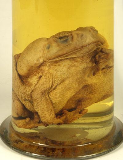 Экспонаты Кунсткамеры, препарат жаба-ага.jpg
