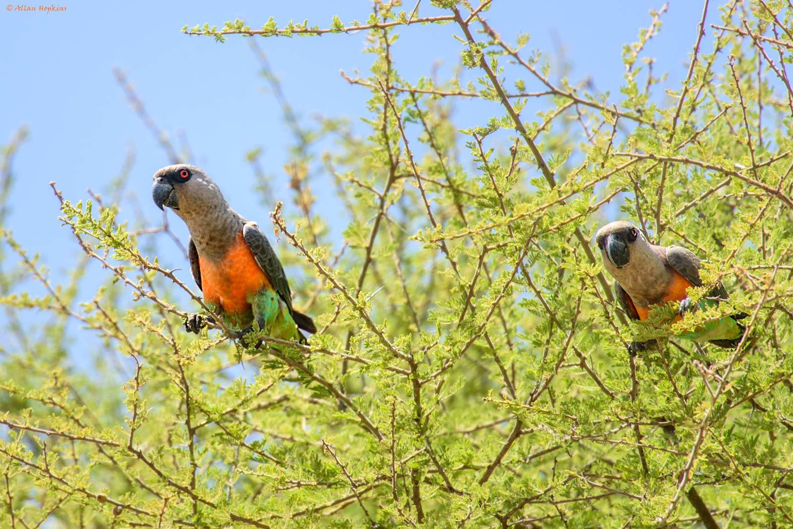Национальный парк Тарангире, попугаи
