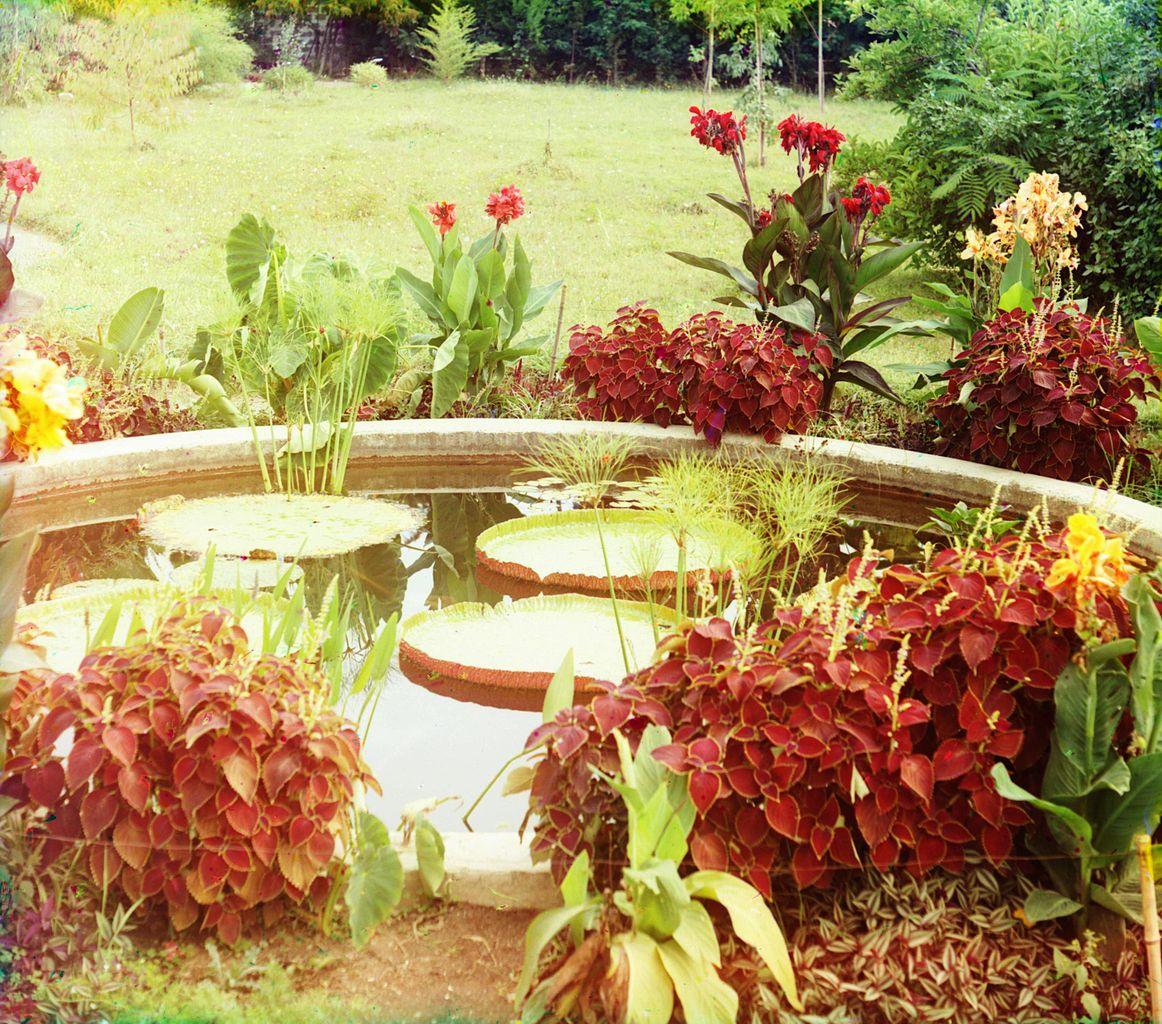 Сухумский ботанический сад, Виктория амазонская