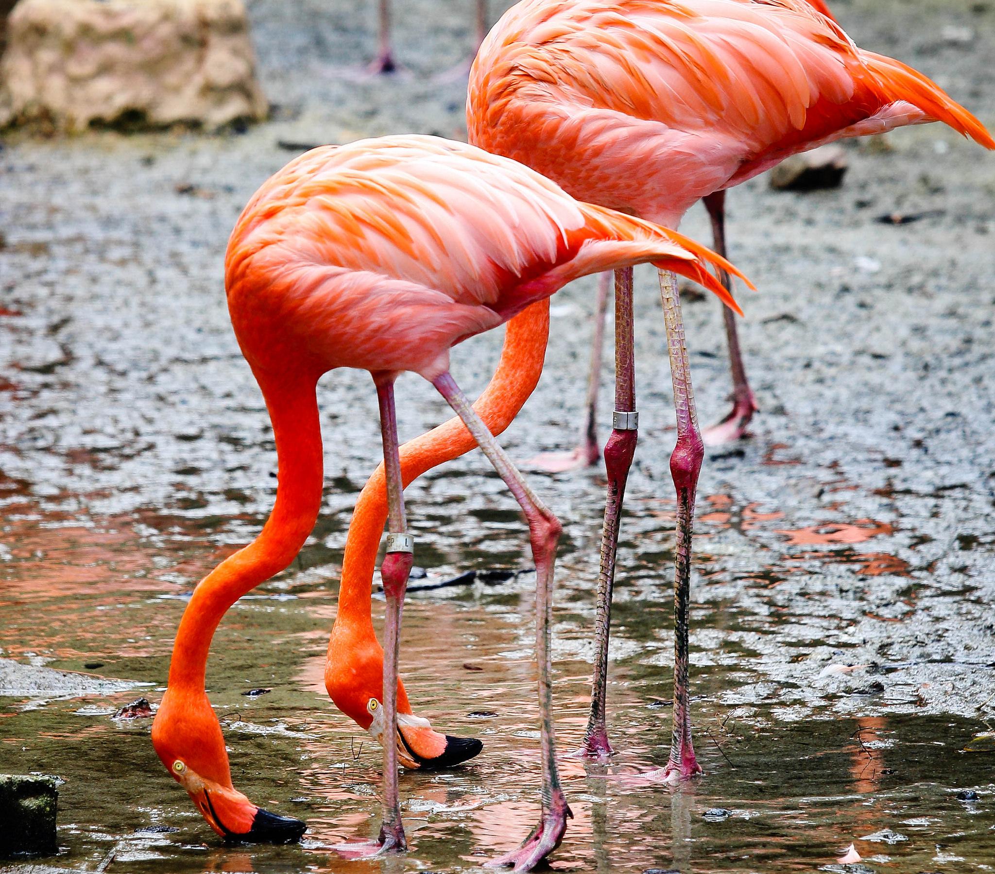 Фламинго, Парк птиц Джуронг, Сингапур