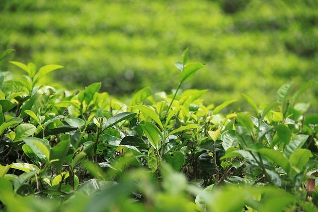 Шри-Ланка начинает масштабную кампанию по продвижению своего чая.jpg