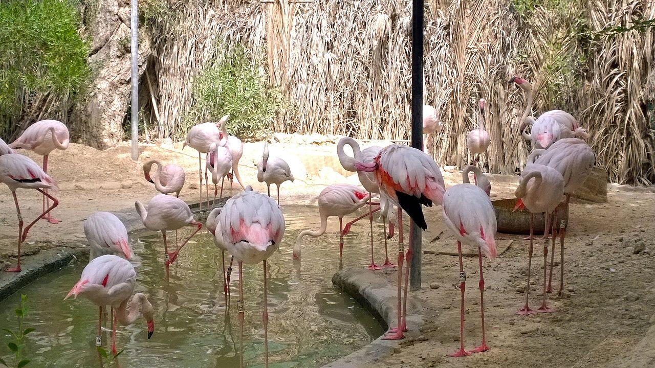 Дубайский зоопарк, розовые фламинго