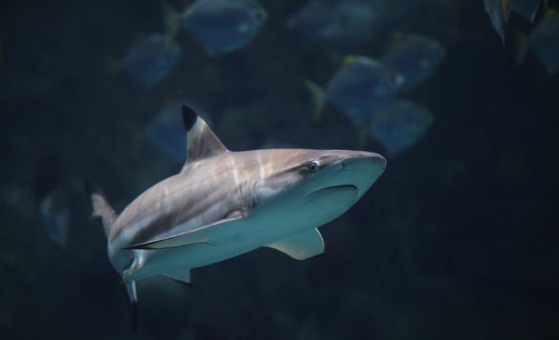 Рифовая черноперая акула, Океанариум в Сочи