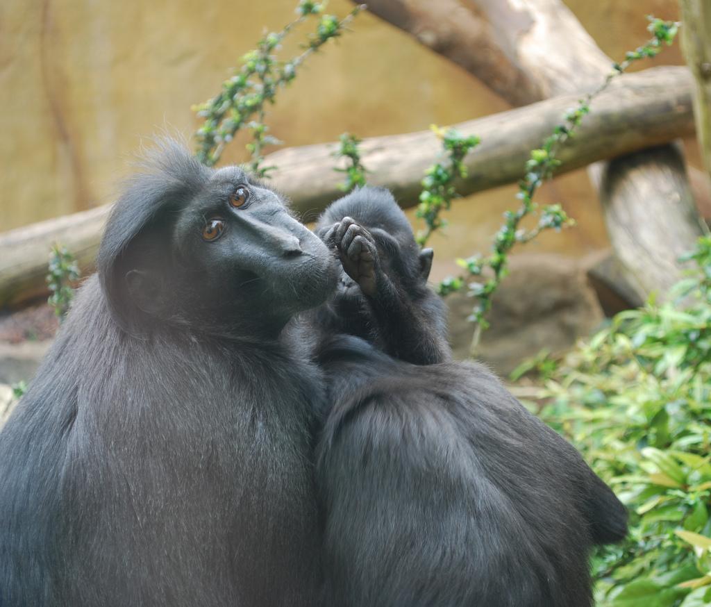 Зоопарк в Амстердаме, хохлатый павиан
