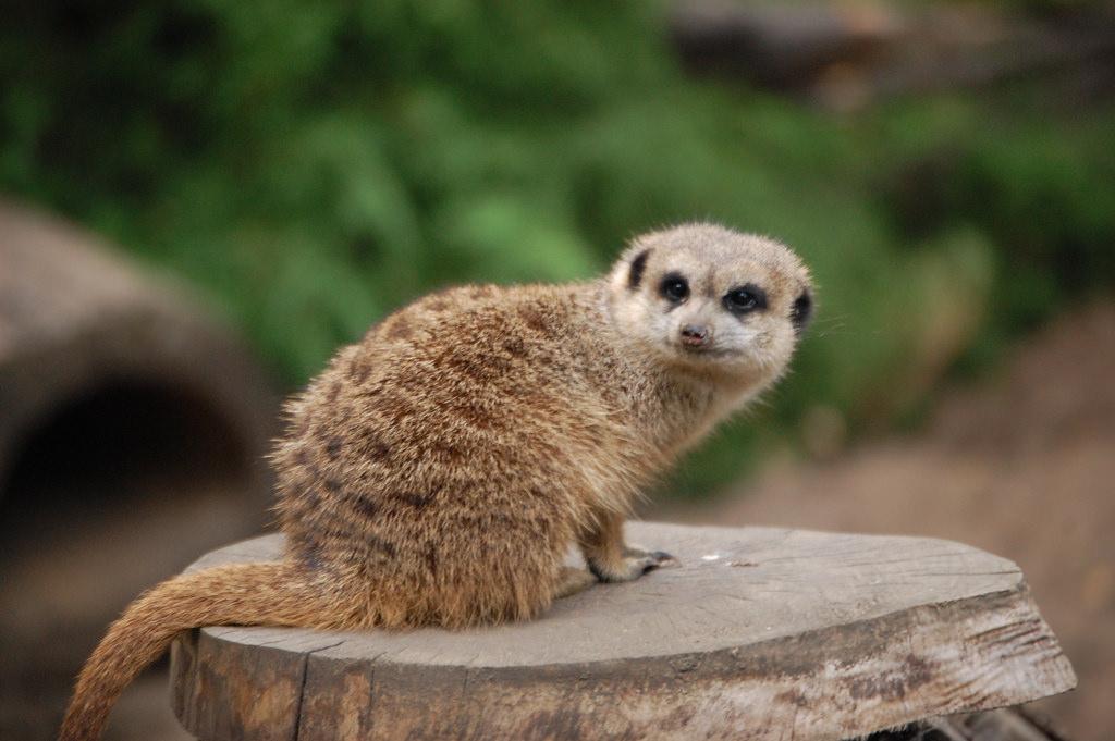 Вроцлавский зоопарк, суслик