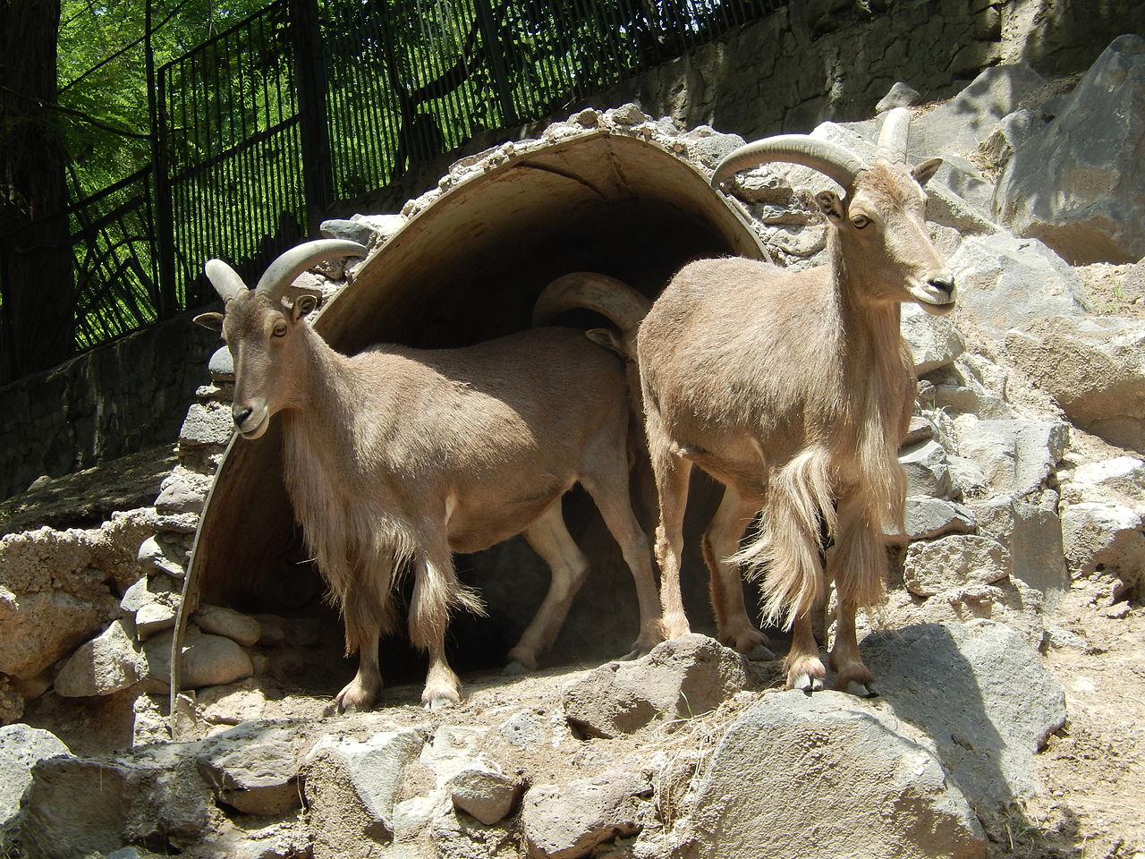 Ереванский зоопарк, горные козлы