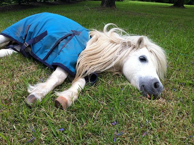 Shetland-pony-1287342 640.jpg