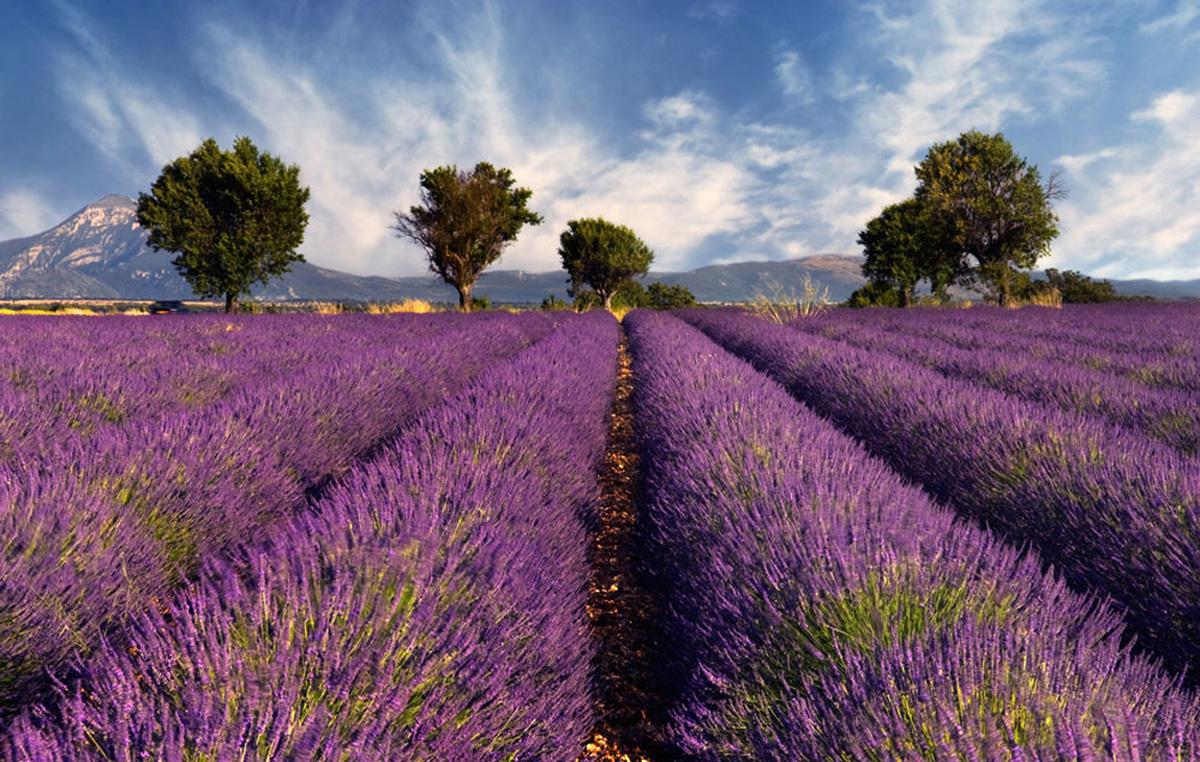 Лавандовое поле, Франция