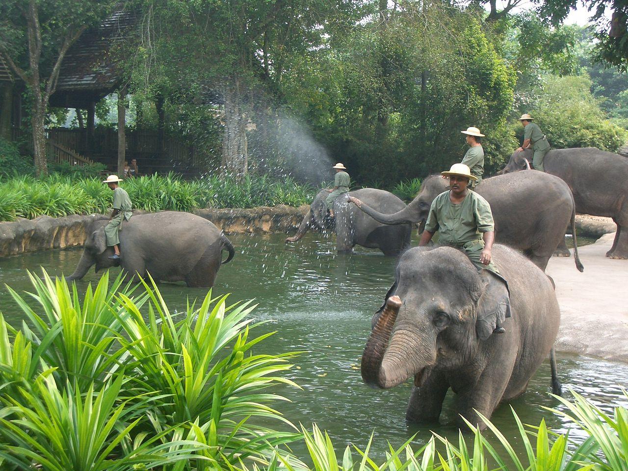 Сингапурский зоопарк, купание слонов