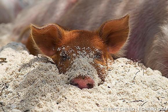 Свинка на пляже фото