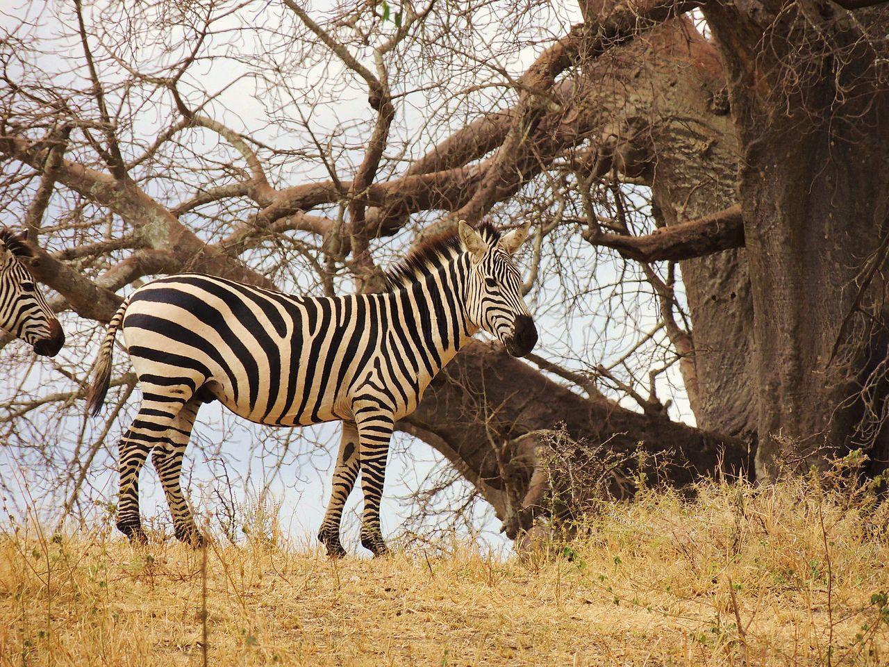 Национальный парк Тарангире, зебра
