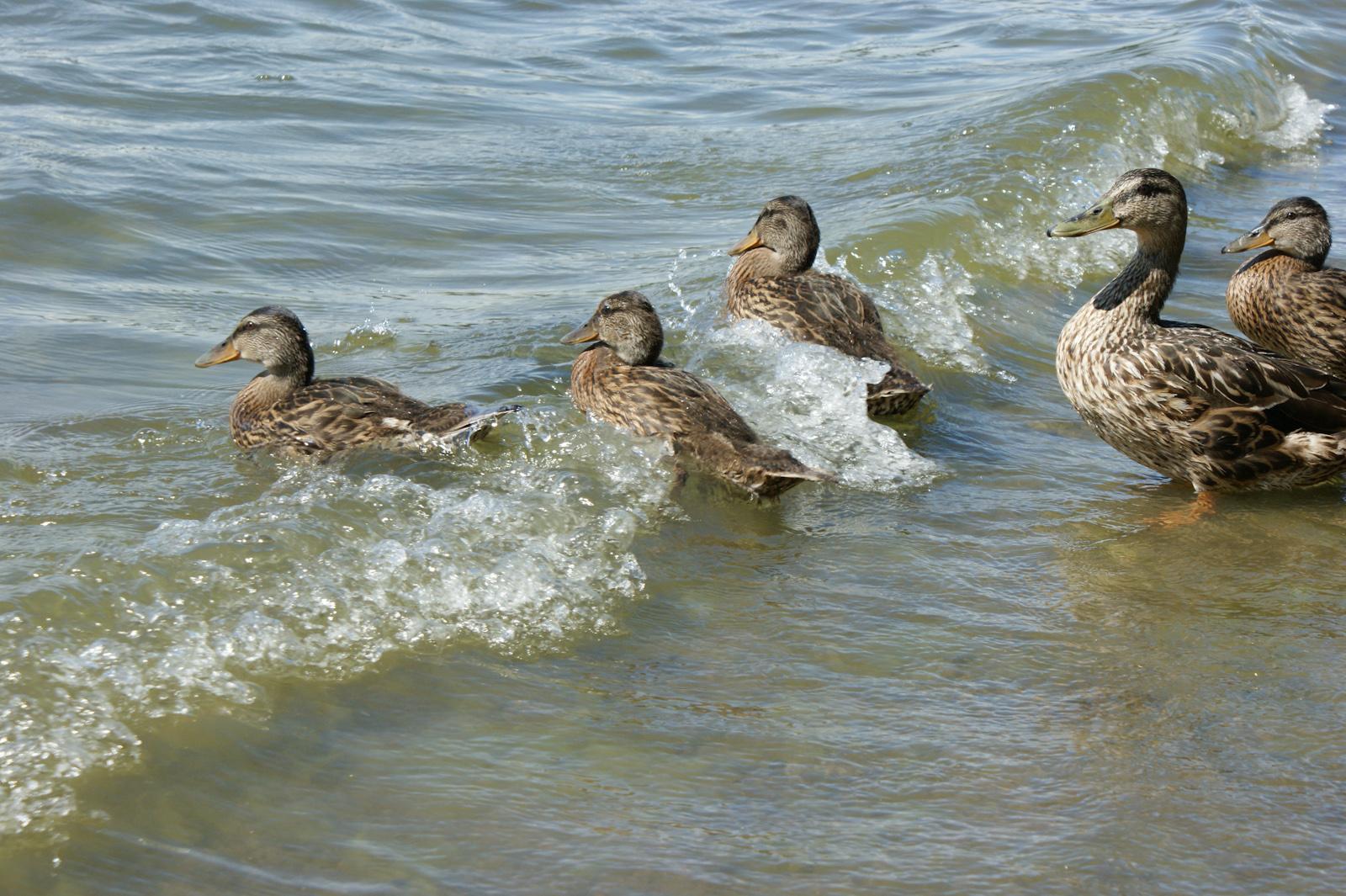 Дикие утки на острове Сеурасаари