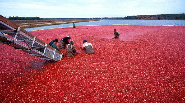 Урожай в Нью-Джерси, США