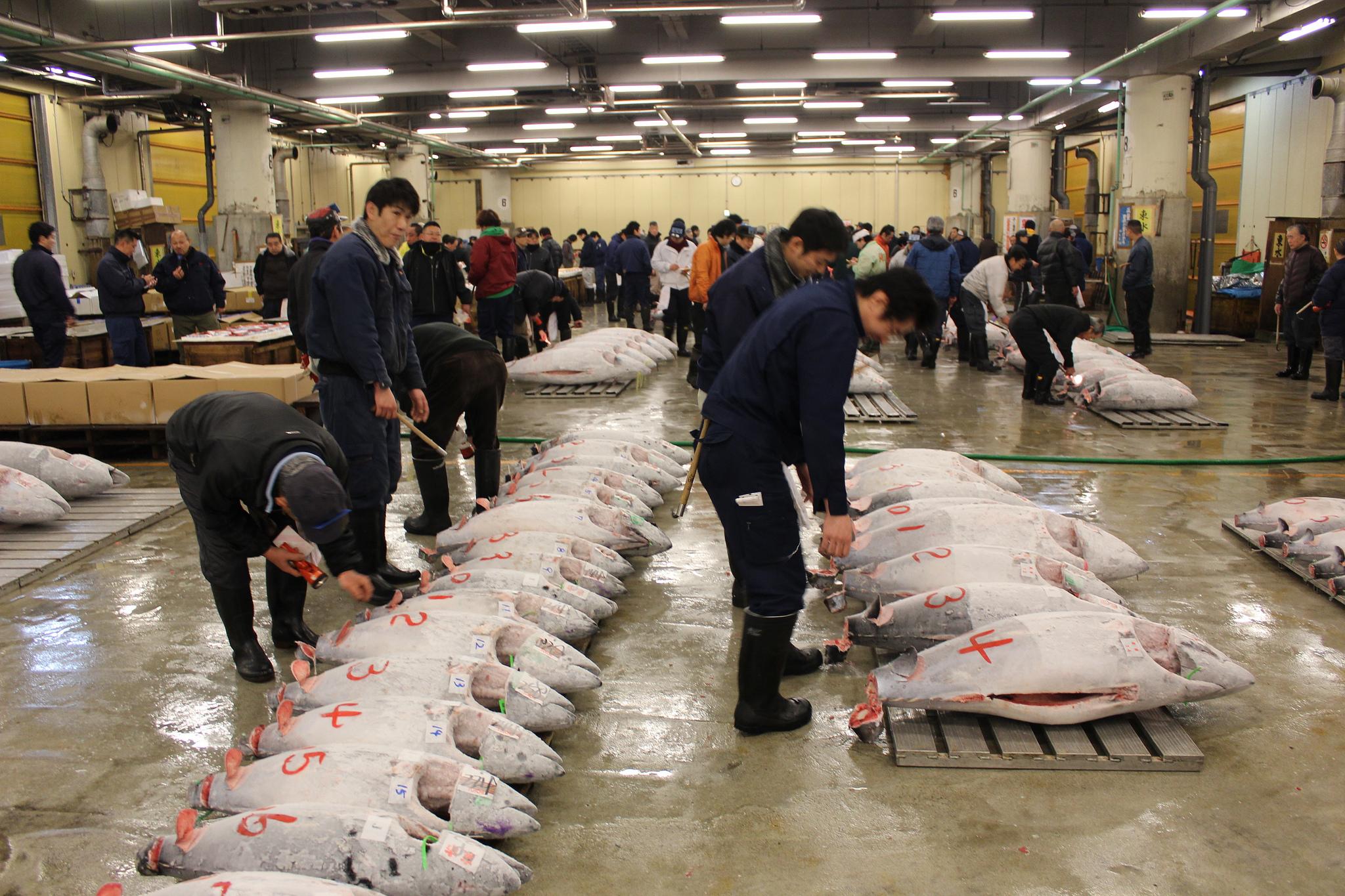 Рыбный рынок Цукидзи, аукцион тунца