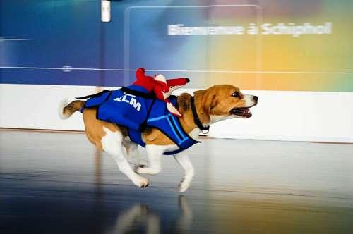 1 Нидерландская авиакомпания трудоустроила пса по кличке Шерлок.jpg