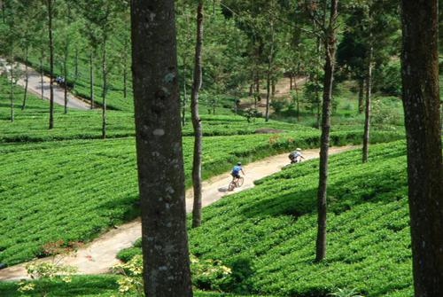 Чайные поля, Шри-Ланка.jpg