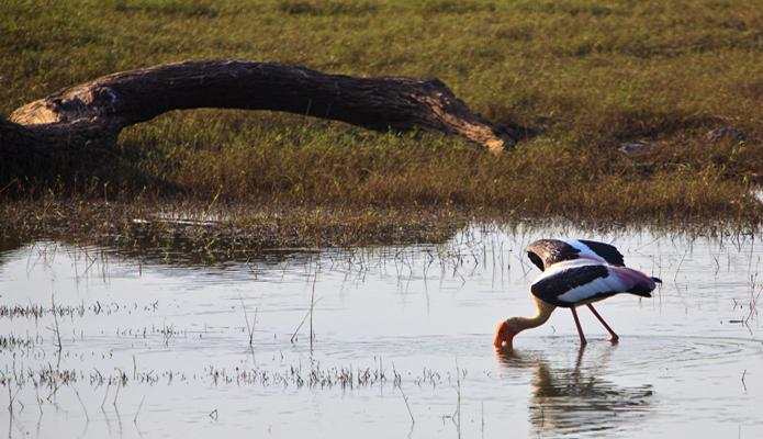 Цапля на Шри-Ланке.jpg