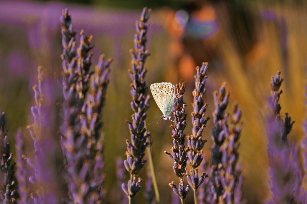 Прованс, цветы лаванды