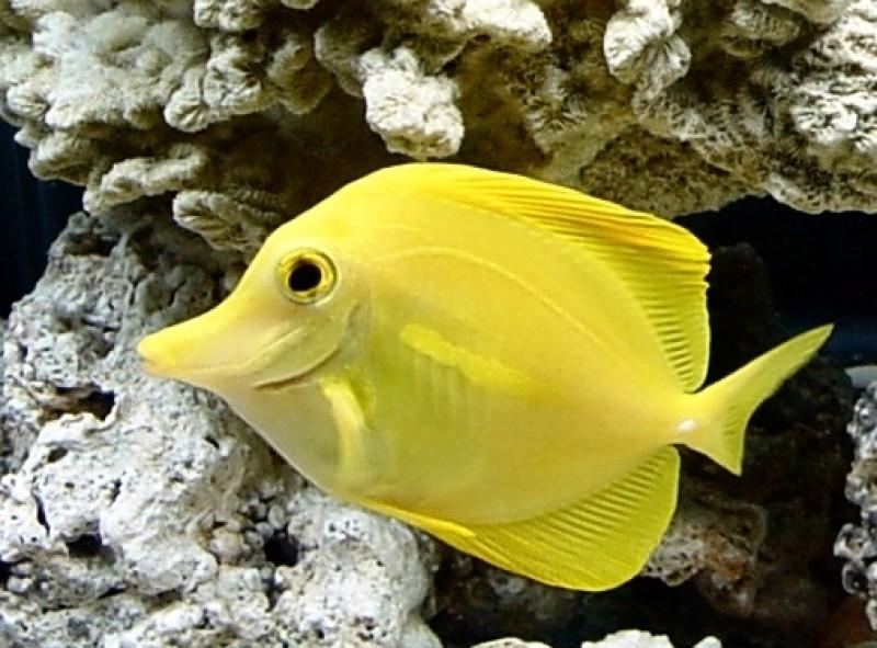 Зебрасома желтая, Морской аквариум-музей, Севастополь