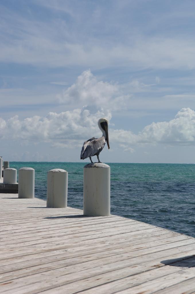 Пеликан на Терксе и Кайкосе.jpg