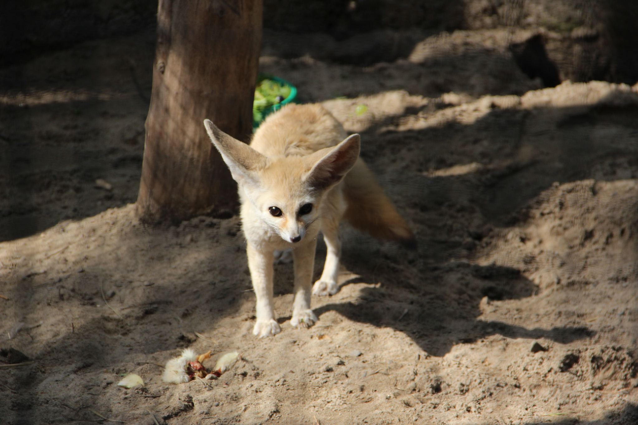 Фенёк, Новосибирский зоопарк