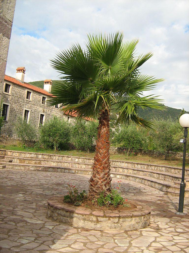 Пальма во дворе монастыря Подмаине