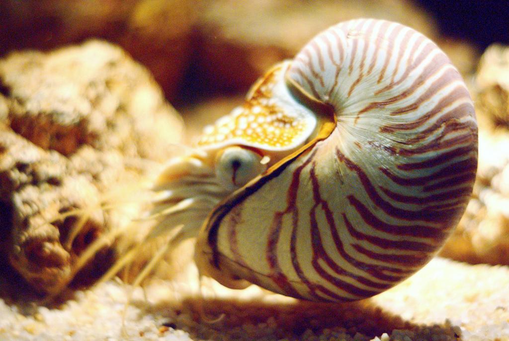 Аквариум Sea Life Bangkok Ocean World, наутилус