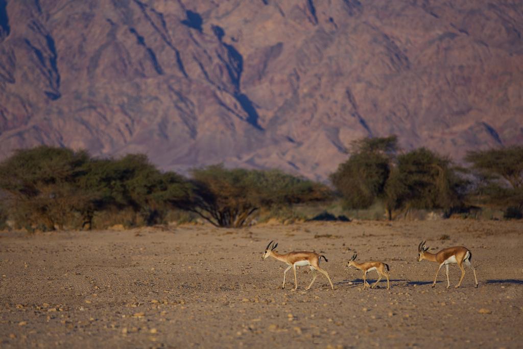 Антилопы, Пустыня Негев
