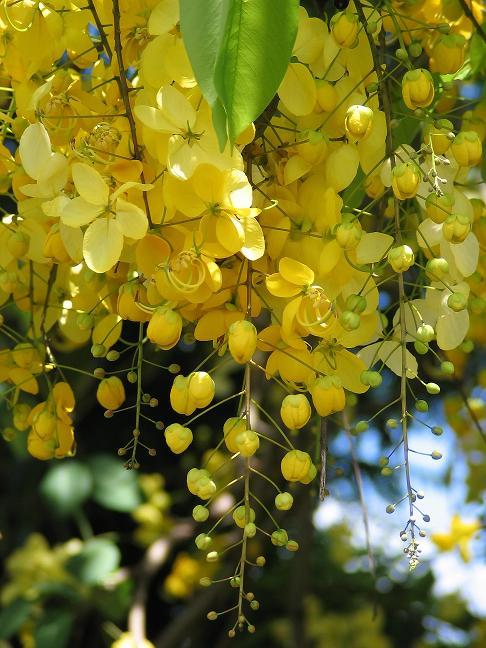 Желтые цветы Маврикия.jpg