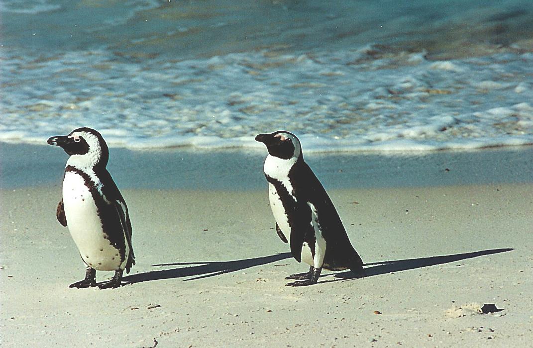 Мыс Доброй Надежды, пингвины