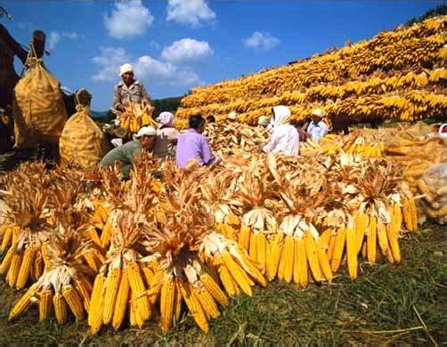 Сбор кукурузы в Южной Корее.jpg
