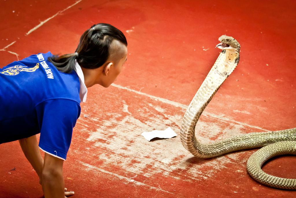 Змеиная ферма Пхукета, шоу с коброй