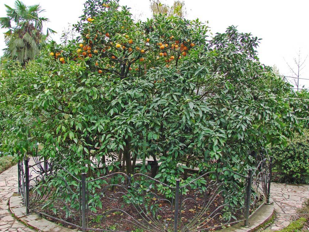 Сад-музей «Дерево Дружбы», Сочи