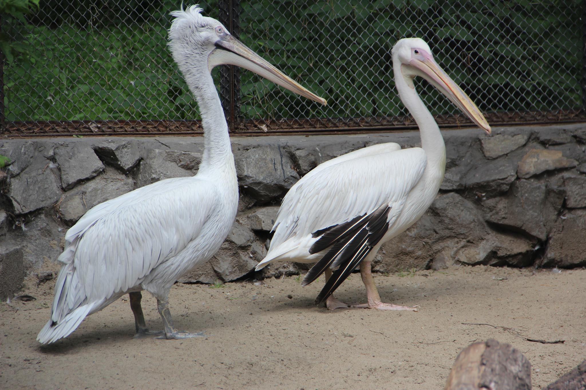 Пеликан, Новосибирский зоопарк
