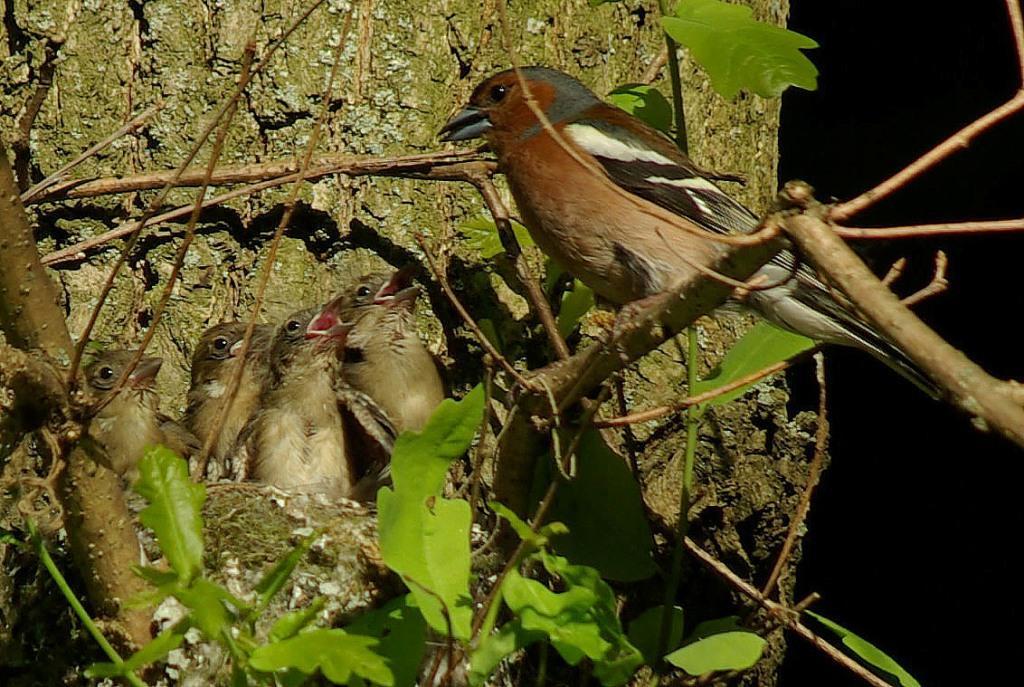 Зяблик — доминирующий вид птиц в заповеднике