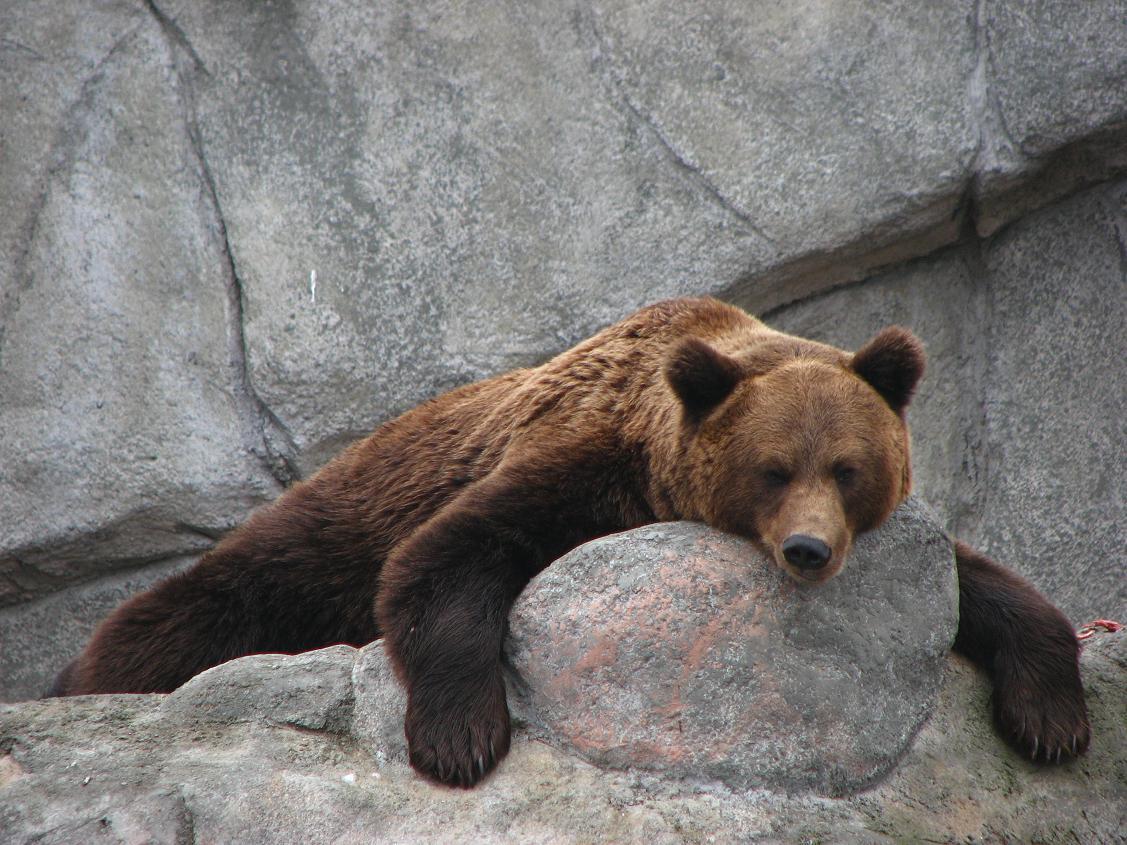 Зоопарк в Хельсинки, бурый медведь