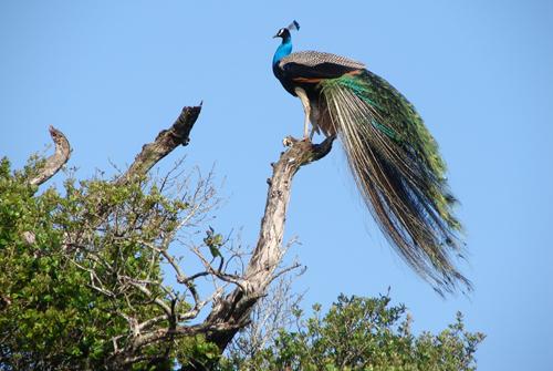 Павлин в национальном парке Васгамува.jpg