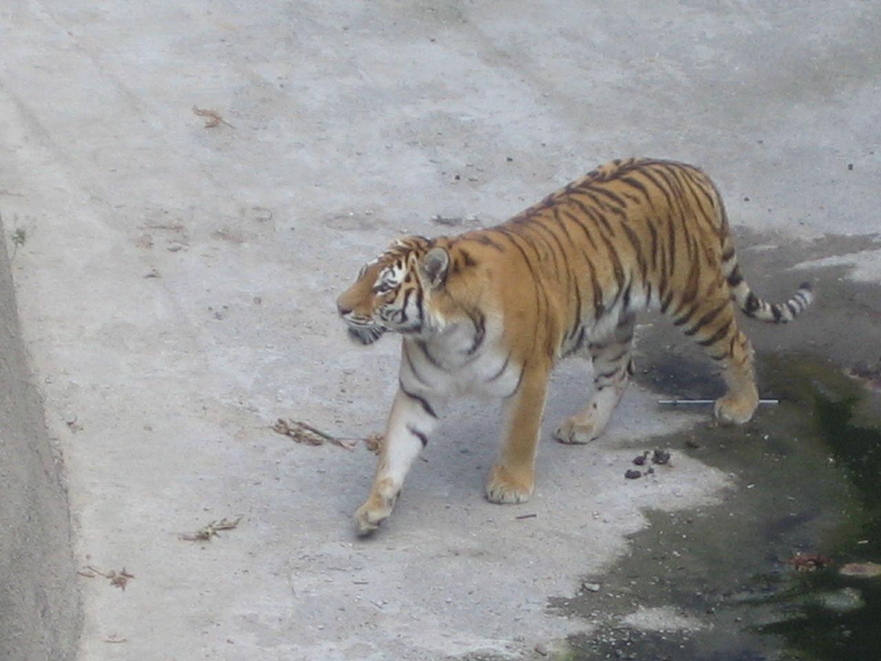 Челябинский зоопарк, амурский тигр.