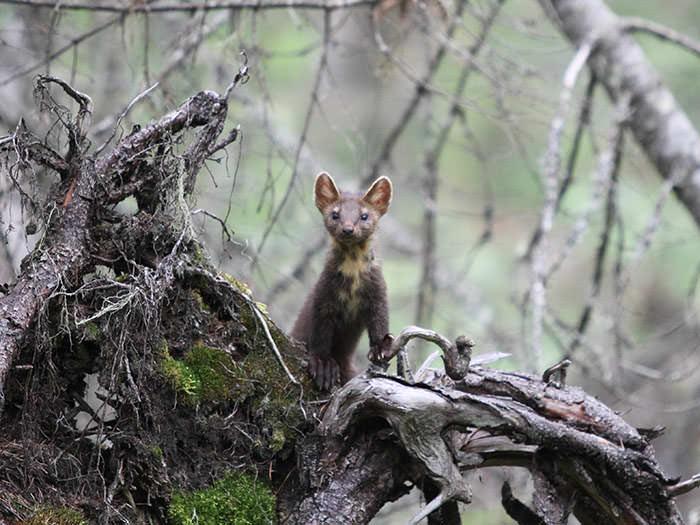 Молодая куница, Вишерский заповедник, Россия