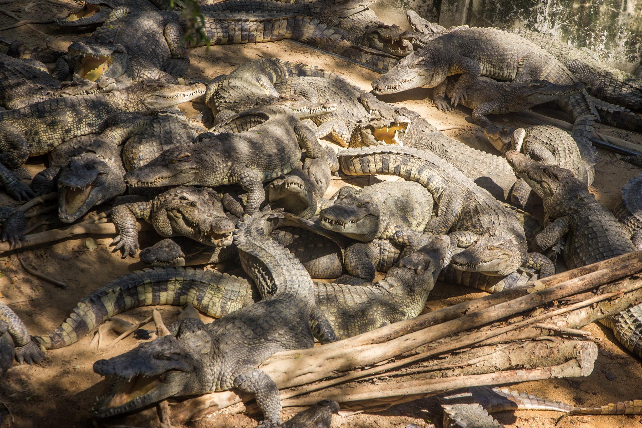 Тигровый зоопарк Сирача, крокодилы